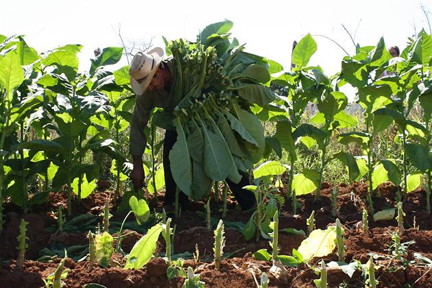 Что делать с табаком после выращивания 37